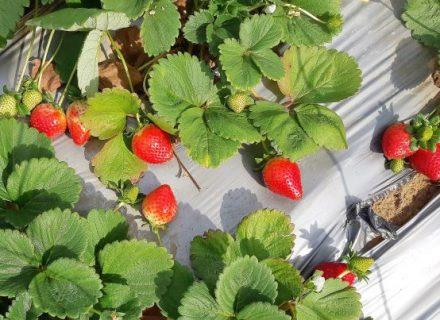 תות שדה ללא ריסוס